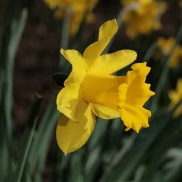 Don't Buy Daffodils to grow on the YorkePeninsula!